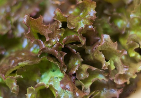 red leaf lettuce from the local farm's CSA