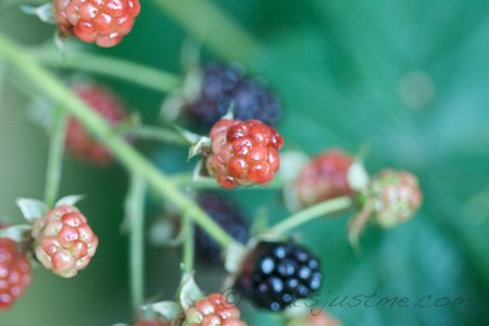 blackberries on backyard bush