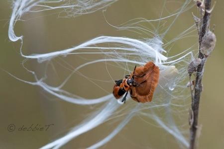 milkweed silks