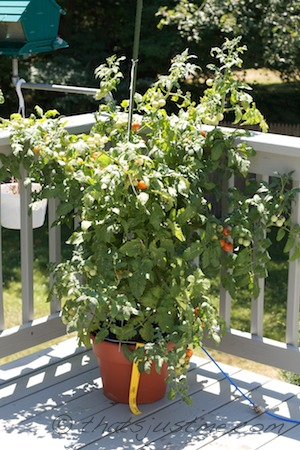 what the tomato plant looked like in begining of July