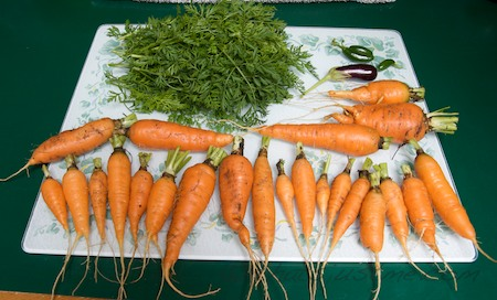 2nd and last carrot harvest