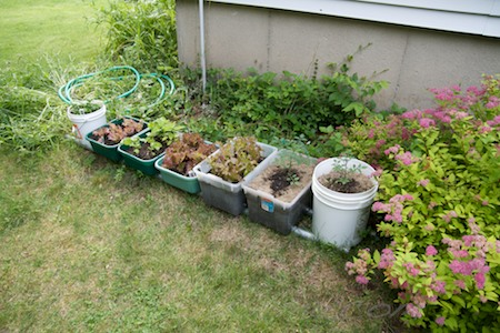 container garden - basil lettuce and tomatoes
