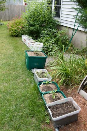 container garden - bell peppers, butternut, watermelon, sunflower, beet seedlings, and peas