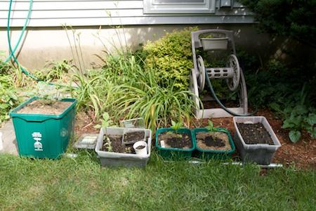 watermelon, beet greens, sunflower, bell peppers & peas