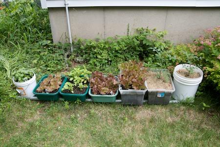 basil, lettuce, tomatoes