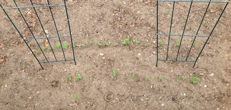 shell and snap pea sprouts garden May 2013