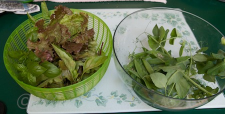 harvested lettuce, basil, beet greens, peas, and shoots