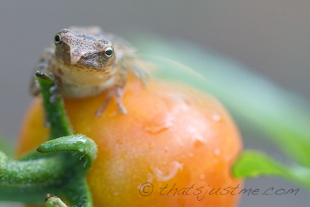 tomato frog/toad on top of cherry tomato in my garden
